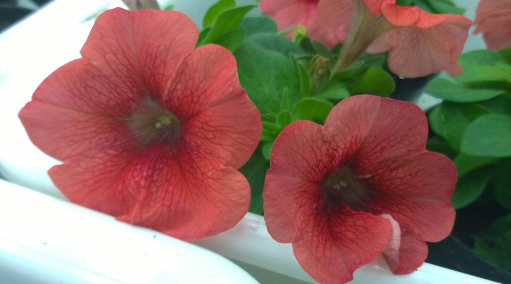 Bild på genetiskt modifierade petunior