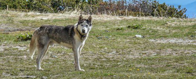 Bild på siberian huskey.