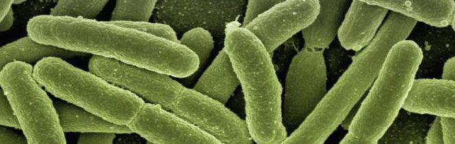 E. coli-bakterier