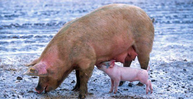 Bild på gris med kulting