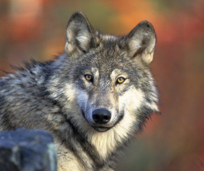 Bild på varg