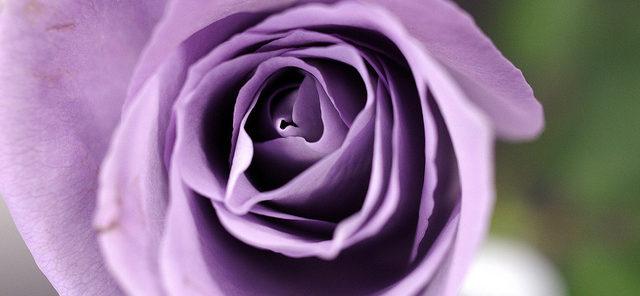 Bild på den genetiskt modifierade rosen Applause.