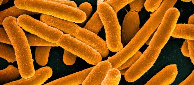 Bakterien Escherichia, förkortat E.coli.