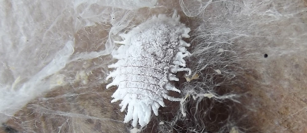 Bild på ullusen Planococcus citri.