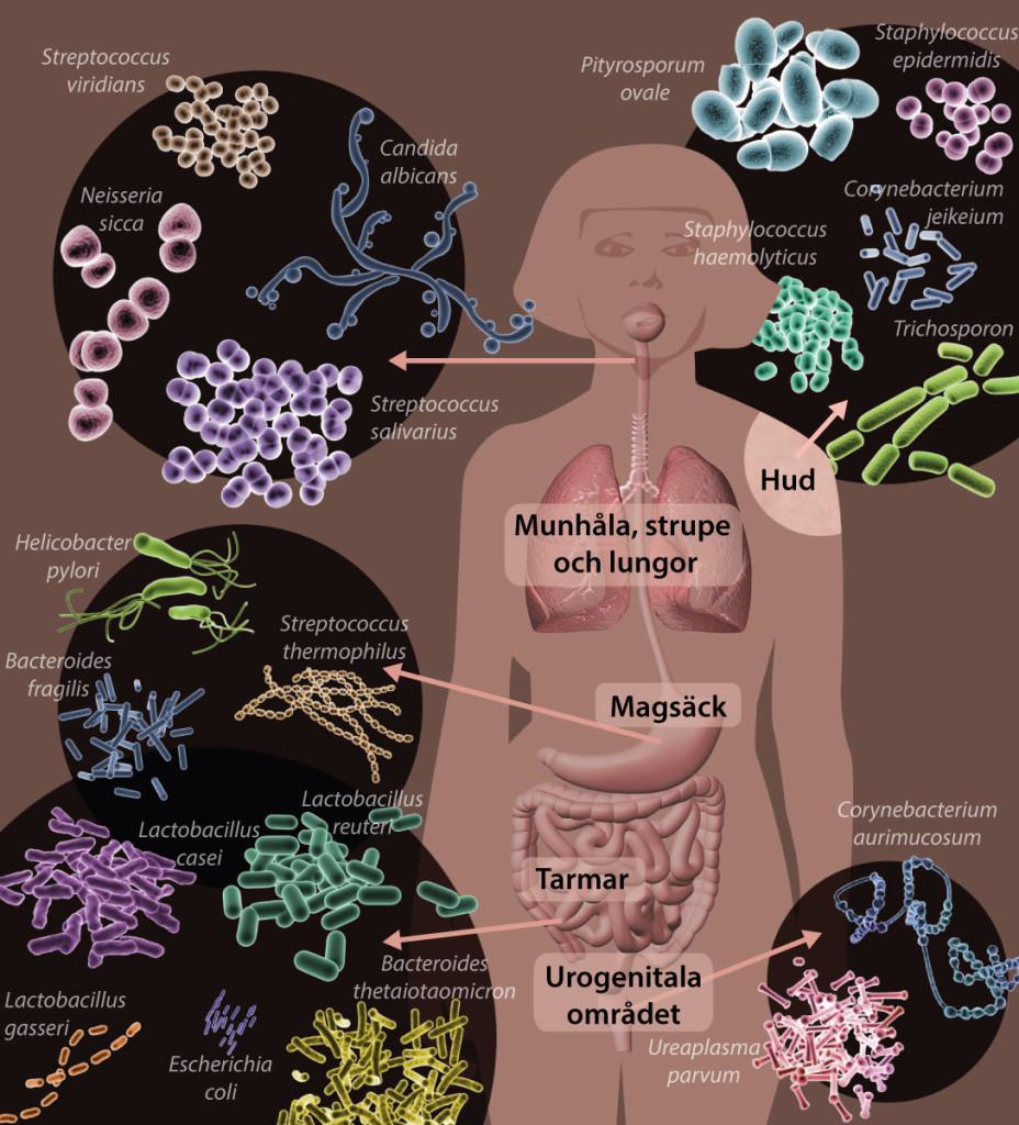 Bild med exempel på mikroorganismer i och på människokroppen.