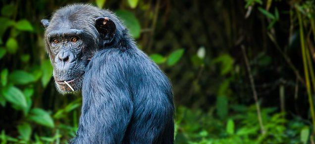 Bild på schimpans, Pan troglodytes.