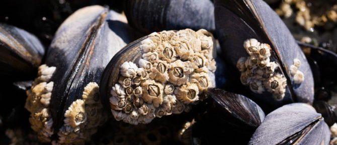 Bild på havstulpaner på musselskal.