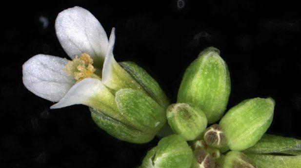 Backtrav, Arabidopsis thaliana, modellväxt