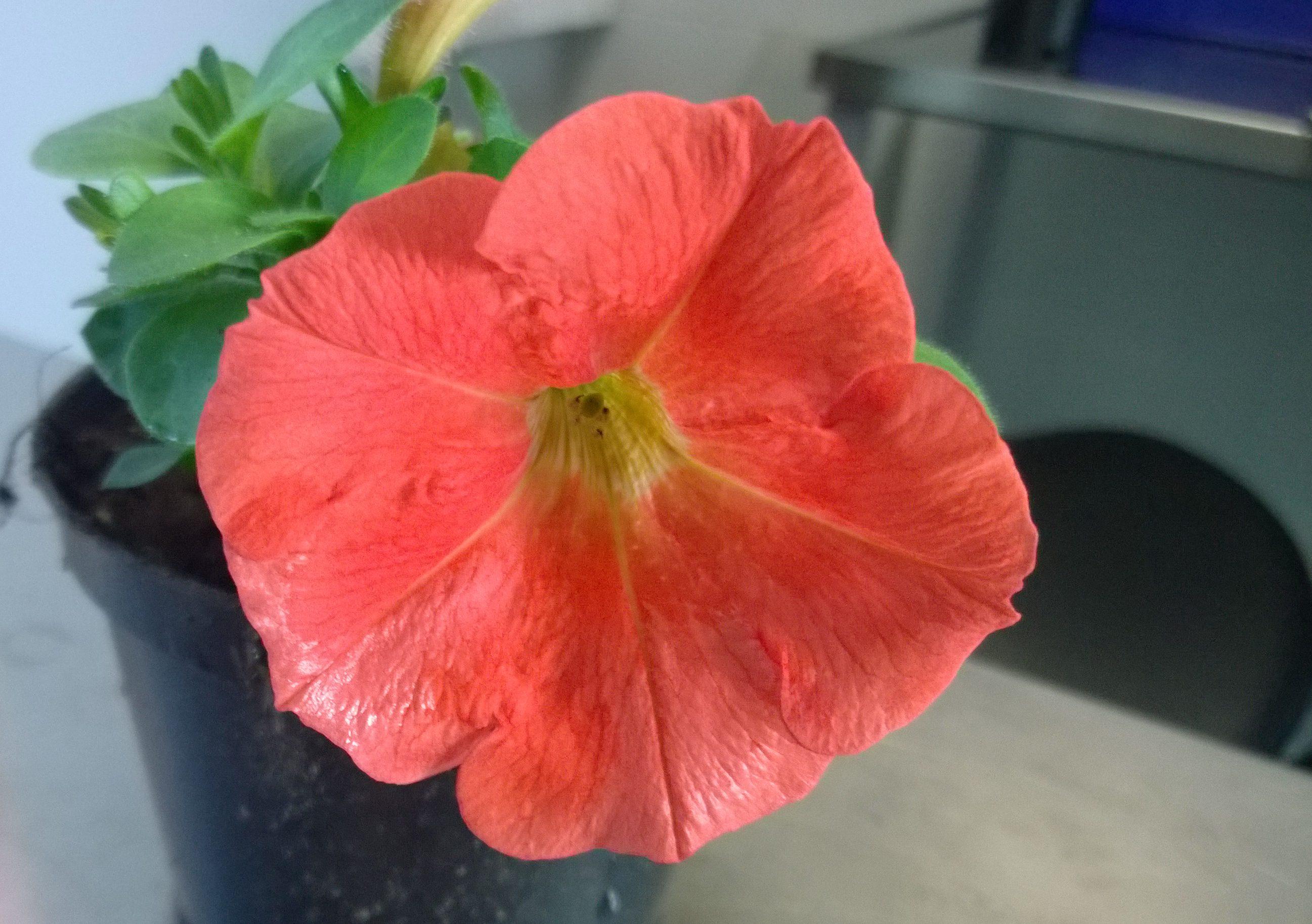 Bild på genmodifierad petunia.