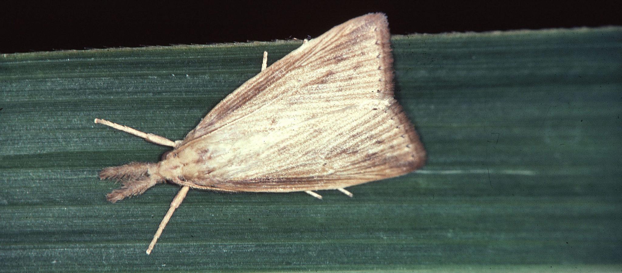 Bild på vuxen Diatraea saccharalis på ett sockerrörsblad.