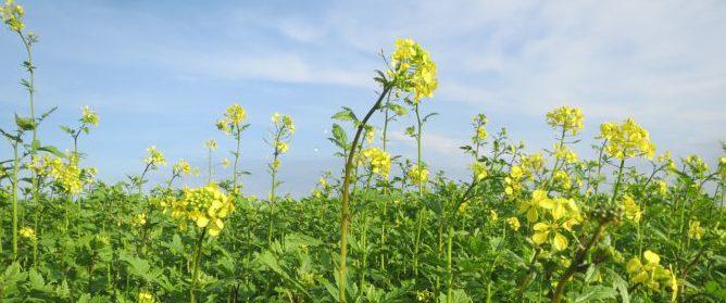 Bild på fält med senap, Brassica juncea.