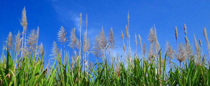 Bild på sockerrörsfält.