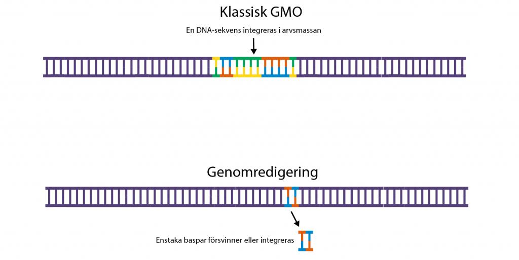 Illustration som visar hur en DNA-sekvens vid klassisk genetisk modifiering integreras i genomet och hur en mutation introduceras med en gensax. Illustration och copyright: Gunilla Elam.